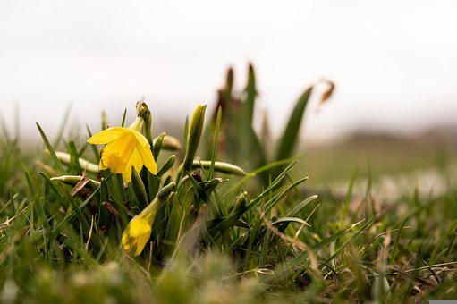 Daffodil, Flowers, Plant, Yellow Flowers, Spring, Bloom