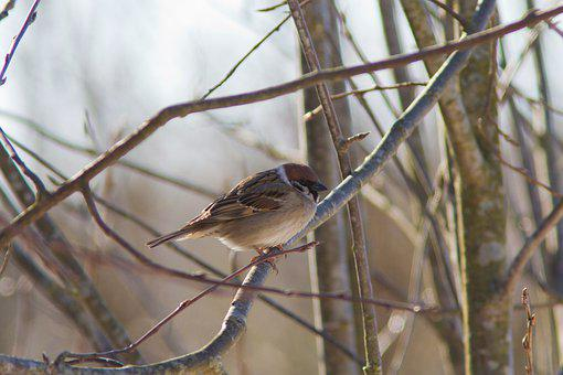 Sparrow, Bird, Branch, Perched, Tree Sparrow