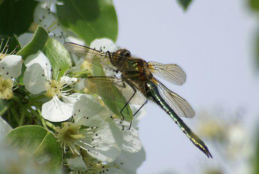 Dragonfly, Insect, Flowers, Wings, Animal, Nectar