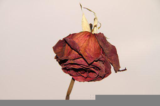 Rose, Flower, Withered, Dried Rose, Dried Flower, Plant