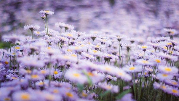 Asters, Flowers, Plants, Purple Flowers, Autumn Flowers