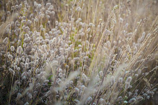 Grasses, Dried Grasses, Meadow, Withered, Dry Grasses