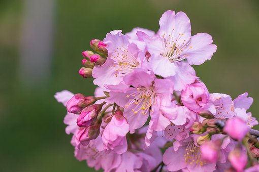 Cherry Blossom, Flowers, Spring, Pink Flowers, Buds