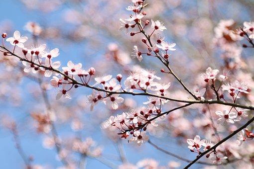 Plum Blossom, Flowers, Spring, Pink Flowers, Plum