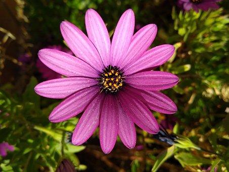 Cape Marguerite, Flower, Plant, Violet Flower, Petals