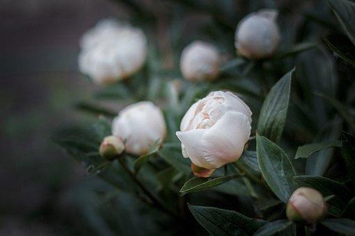 Peonies, Flowers, Plant, Bud, Peony Bud, White Peonies