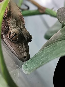 Gecko, Sticky Feet, Reptile, Crested Gecko