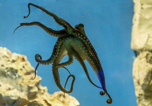 Octopus, Tentacles, Underwater, Sea, Marine, Mollusc