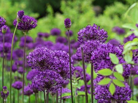 Persian Onion, Flowers, Plant, Allium