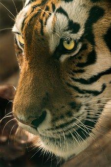 Angry, Animal, Big, Carnivore, Cat, Danger, Eye, Fur