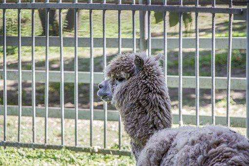 Alpaca, Animal, Head, Mammal, Livestock, Wool, Furry