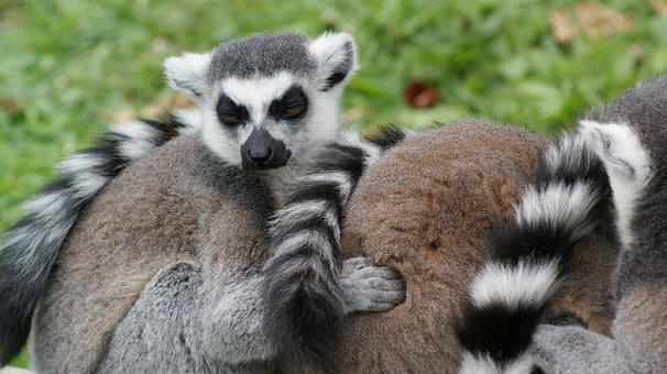 Lemurs, Animals, Wildlife, Ring-tailed Lemurs, Primate