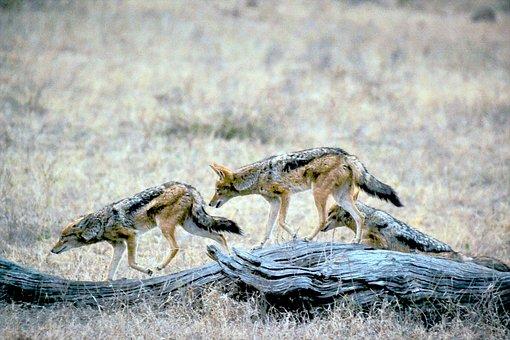 Jackals, Animals, Safari, Hunting, Wildlife, Hunters