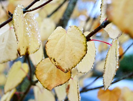 Leaves, Branch, Fall, Autumn, Dew, Wet, Foliage, Tree
