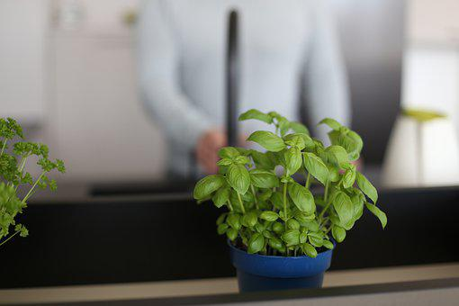 Basil, Herbs, Plant, Plant Pot, Leaves, Organic