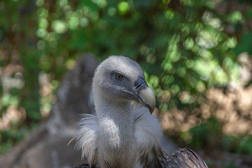 Vulture, Bird, Head, Animal, Raptor, Bird Of Prey