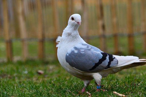 Pigeon, Bird, Travel Pigeon, Animal World, City Pigeon