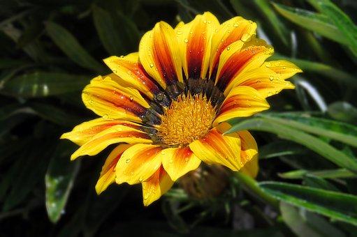 Flower, Plant, Dew, Wet, Dewdrops, Petals, Bloom