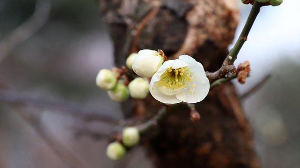Plum Blossom, Flowers, Spring, White Flowers, Buds