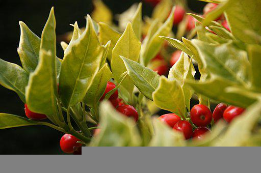 Holly, Greens, Berry, Leaves, Light, Tree, Close
