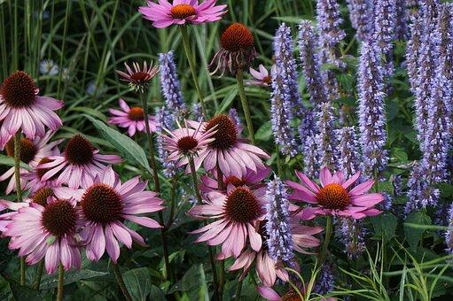 Coneflowers, Lavender, Flowers, Purple Coneflowers