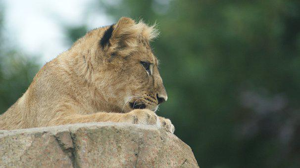 Lioness, Lion, Animal, Predator, Mammal, Big Cat