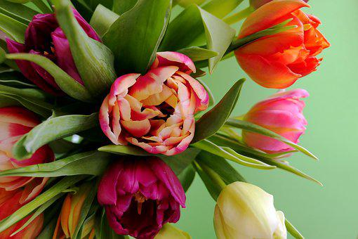 Tulips, Flowers, Plant, Spring, Cut Flowers