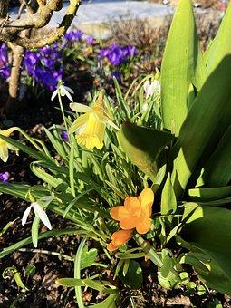 Flowers, Plants, Spring, Yellow Crocus, Daffodil