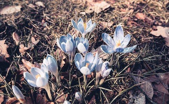 Crocus, Flowers, Plants, Petals, Grass, Bloom, Blossom