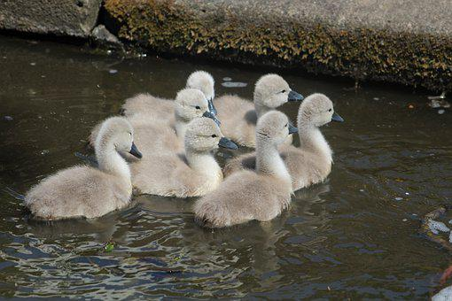 Cygnets, Birds, Pond, Swans, Baby Birds, Young Animals