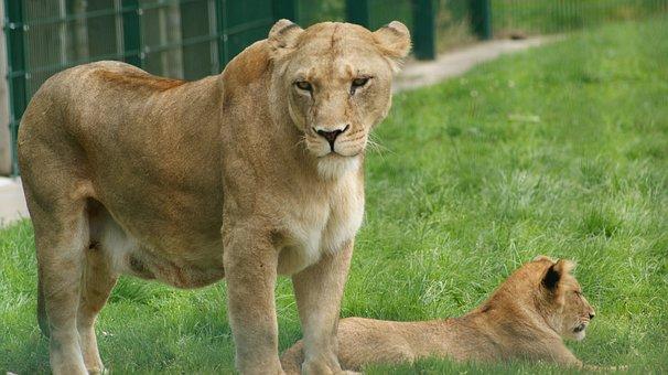 Lioness, Cub, Animals, Lions, Predator, Mammals