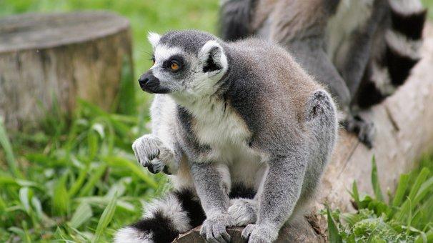 Lemur, Animal, Wildlife, Ring-tailed Lemur, Primate