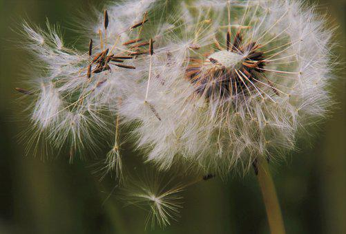 Dandelion, Plant, Seed Head, Seeds, Fluffy, Weed