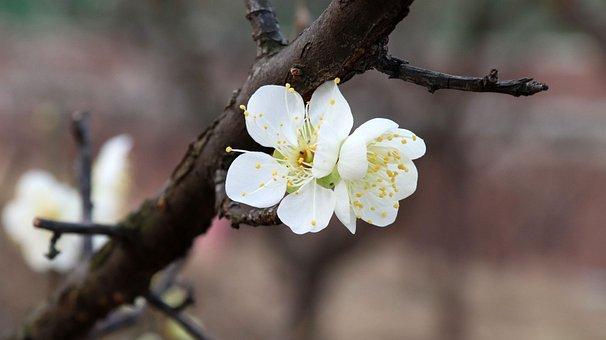 Plum Blossom, Flowers, Spring, White Flowers, Bloom