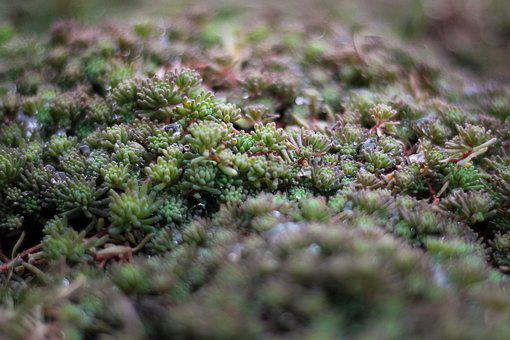 Succulent Plant, Dew, Greenery, Macro, Drop Of Water