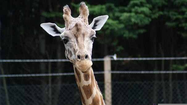 Giraffe, Animal, Head, Mammal, Herbivore, Wildlife