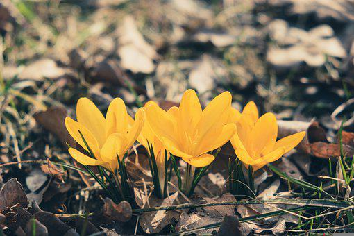 Crocus, Flowers, Plants, Yellow Crocus, Petals, Grass
