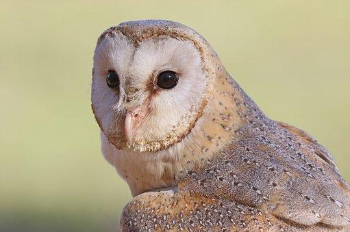 Barn Owl, Bird, Raptor, Face, Head, Eyes, Avian, Wild
