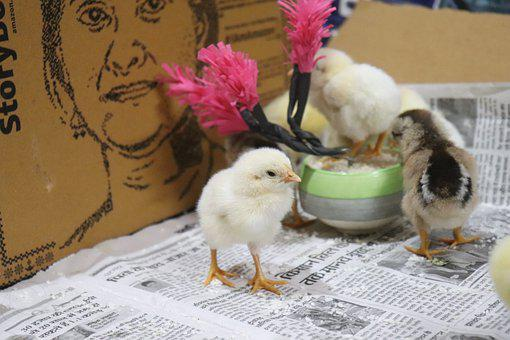 Chicks, Birds, Animals, Chicken, Young Birds, Poultry