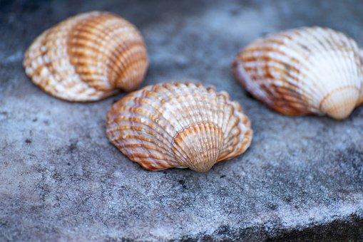 Shells, Texture, Decoration, Seashells, Bivalve