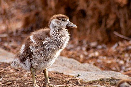 Duck, Duckling, Baby, Bird, Feathers, Plumage, Bill