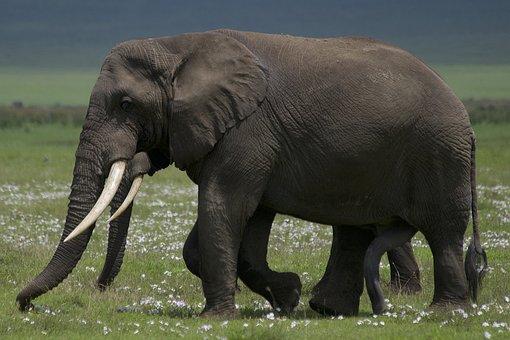 Elephant, Animal, Safari, Wildlife, Mammal, Wild