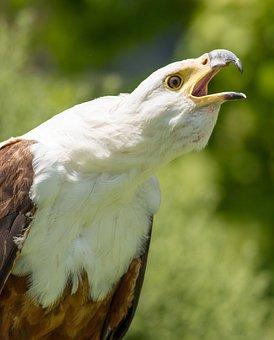 Fish Eagle, Bird, Raptor, Feathers, Plumage, Majestic