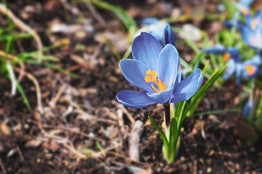 Crocus, Flower, Blue Flower, Petals, Blue Petals