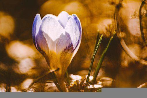 Crocus, Flower, Plant, Petals, Early Bloomer