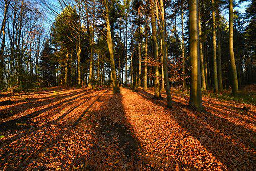Forest, Trees, Nature, Sunset, Shadow, Long, Leaves