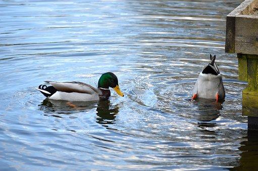 Ducks, Mallard, Lake, Birds, Wild Ducks, Waterfowl