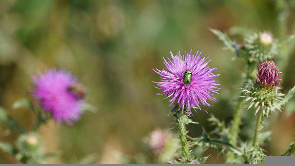 Insect, Bug, Beetle, Flower, Thistle, Flora