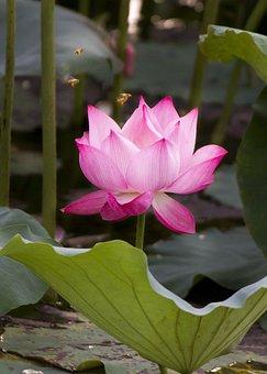 Lotus, Flower, Plant, Petals, Water Lily, Leaf, Bloom