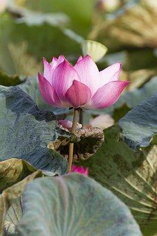 Flower, Lotus, Petals, Aquatic, Leaves, Foliage, Pond